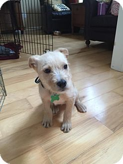 Acworth Ga Cairn Terrier Mix Meet Simba A Puppy For Adoption