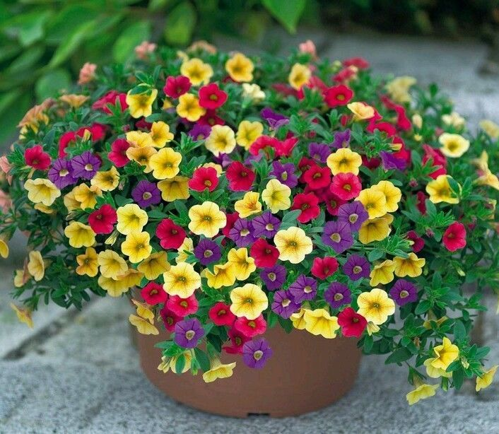 Details About 500 Seeds Garden Petunia With Yellow Flower Bonsai