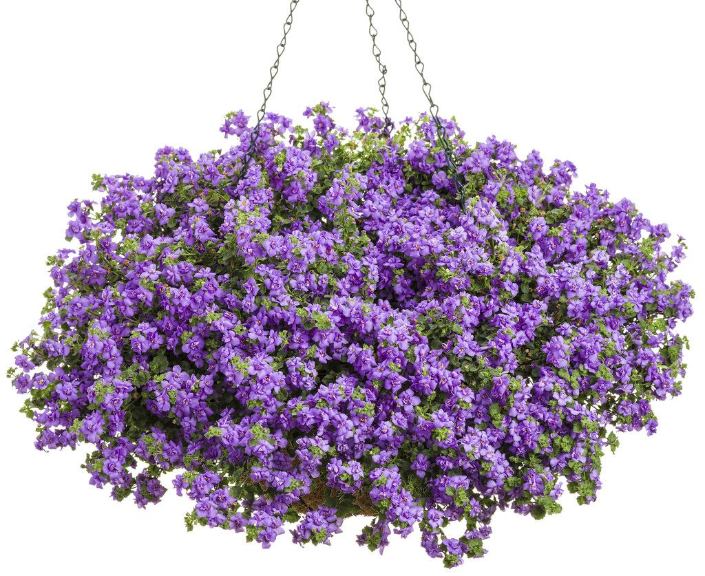 snowstorm lavender luv