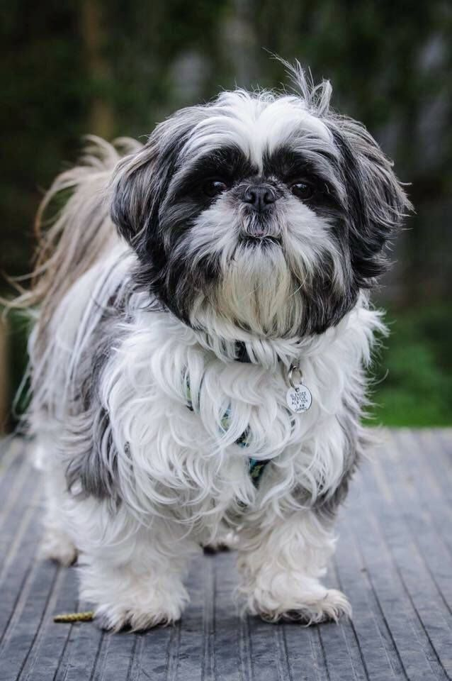 Archie 2 Year Old Male Shih Tzu Cutedogs Cute Dogs Dog Pets