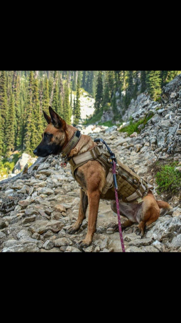 Pin By Natalie Dagan On Police Military Working Dogs Belgian Malinois Dog Military Dogs Malinois Dog