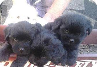 Quinlan Tx Cockapoo Shih Tzu Mix Meet Cockapoo Darlings A Puppy For Adoption Http Www Adoptapet Com Pet 1092595 Kitten Adoption Puppy Adoption Cockapoo