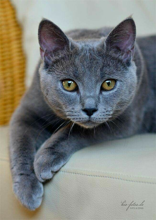 Beautiful Gray Cat Animals Chartreux Cat Pretty Cats Cats