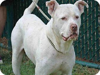 Dogo Argentino/Labrador Retriever Mix. Meet *CURTIS