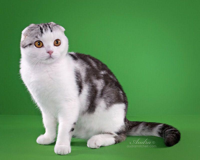 Descendants Quot Kotoffski Quot British Shorthair Cattery Kittens Cutest British Shorthair Cats British Shorthair