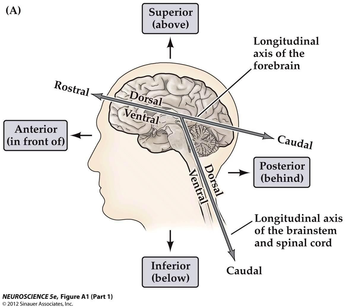 anatomical planes and directions of neuroanatomy.... Above the ...