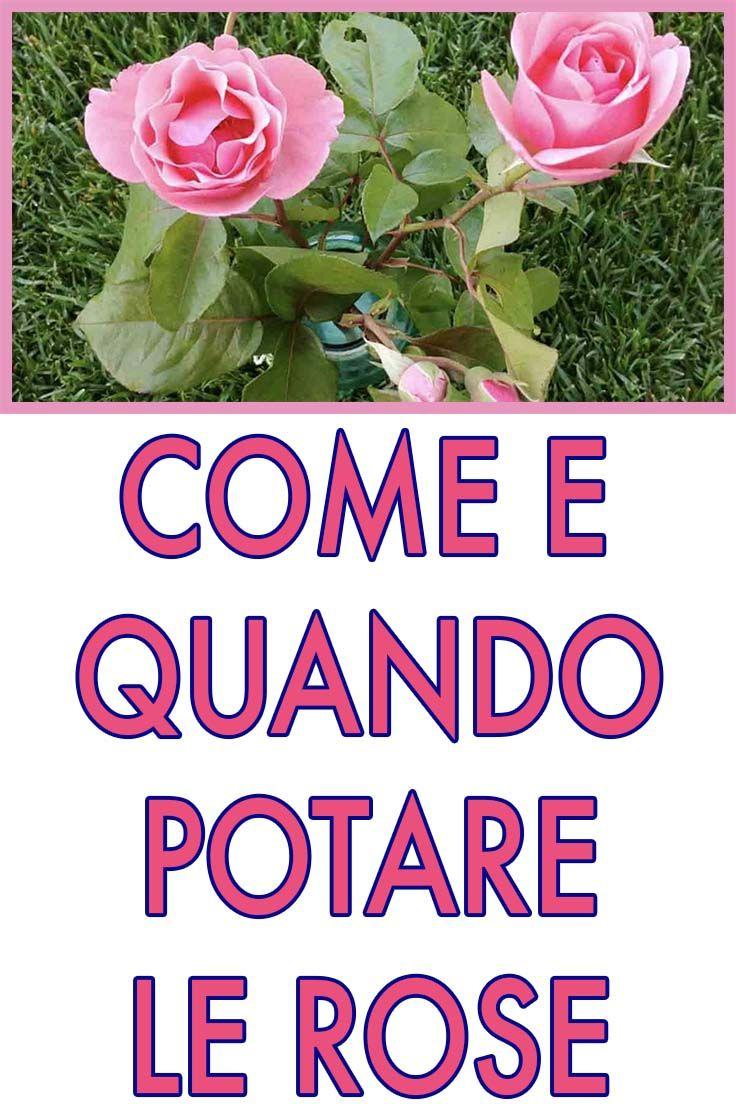 Quando Potare Il Bouganville come effettuare la potatura delle rose per averle splendide