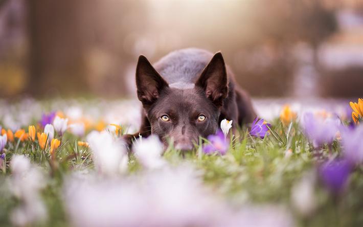 تحميل خلفيات الاسترالي الكالب جان بحري الكلاب الحديقة الزهور Dog Photography Dog Photos Dog Lovers