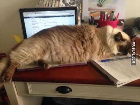 The Size Of My Big Cat Laptop For Comparison Sorry No Banana Ragdoll Katzen Katzen