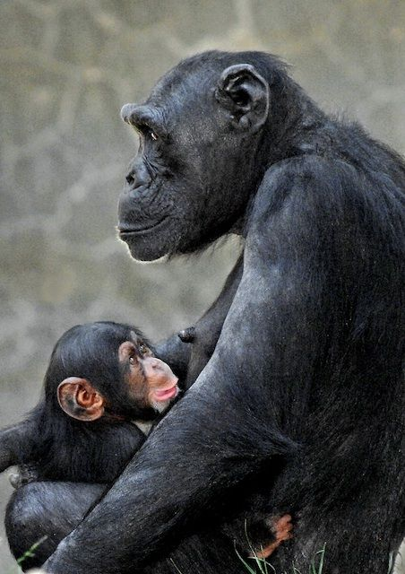 The Star Of The Newborn Crew At The L A Zoo Is Its First Baby Chimpanzee In 13 Years Baby Chimpanzee Cute Baby Animals Baby Animals