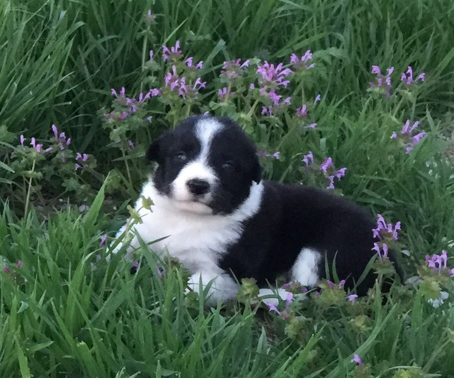 A black and white Border Collie puppy in the springtime