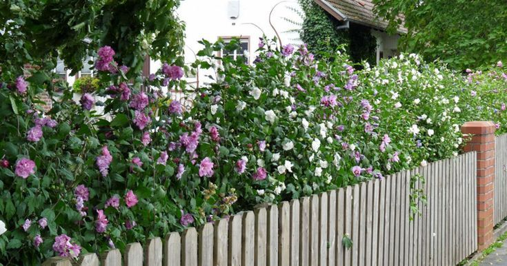 Hibiscus Hedge Tips For Planting And Care Landscaping 2019 Hibiskus Hecke Hecke Pflanzen Garten Hecken