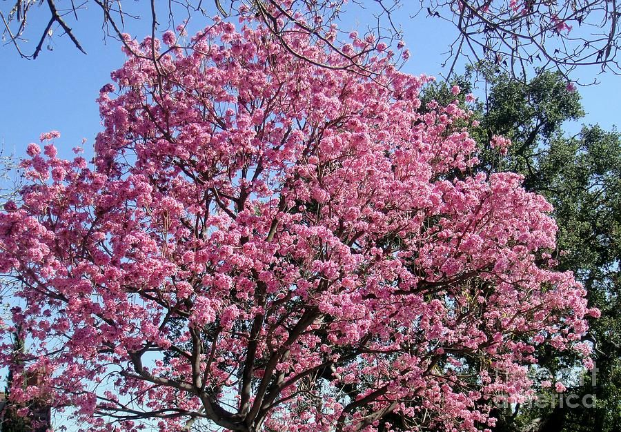 Amazing Pink Flower Tree Big And Beautiful By Sofia Metal Queen Flowering Trees Flowers Photography Pink Flowers