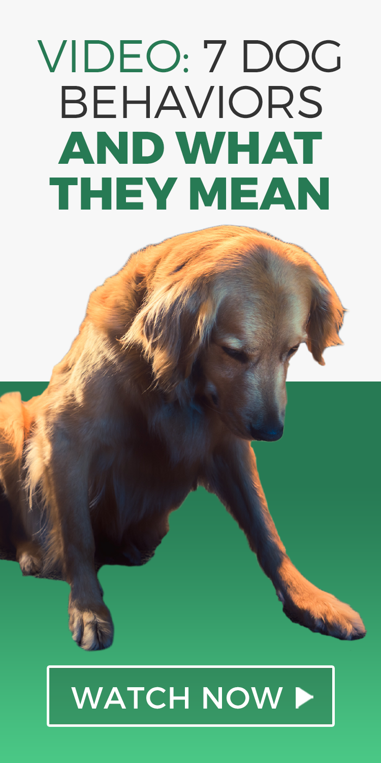 7 Dog Behaviors And What They Mean Dog Behavior Dogs Pets