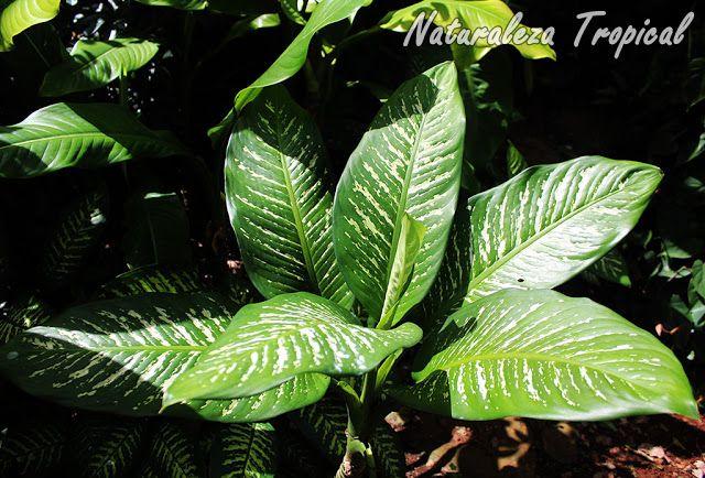Vista de la planta diefembaquia o galatea dieffenbachia for Planta ornamental venenosa dieffenbachia