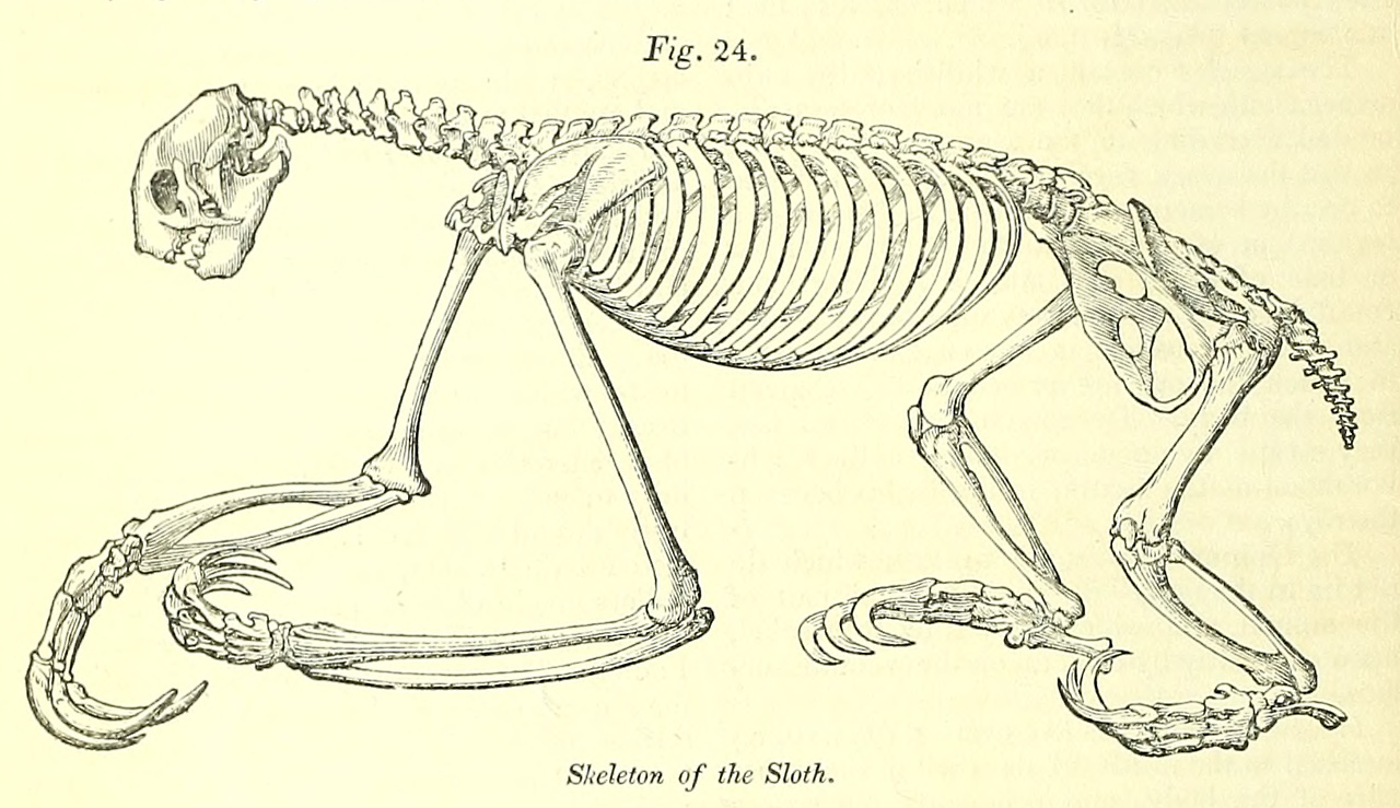"Fig. 24. ""Skeleton of the sloth."" The cyclopaedia of anatomy and ..."