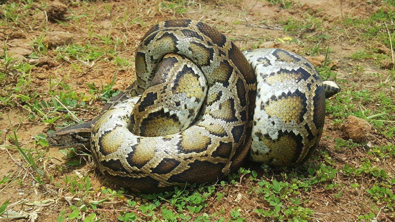 Amazing boy catch big snake snake python snake animal gifs