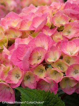 HYDRANGEA macrophylla, Big Easy, has large pink and green flower heads and will bloom for approximately four weeks during summer.