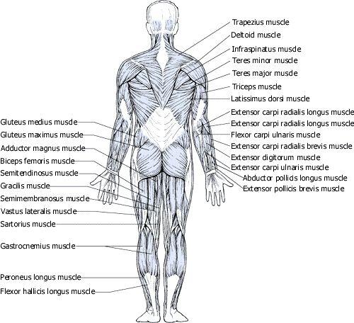 Full body muscles flashcards | Anatomy & Phys. | Pinterest | Full ...