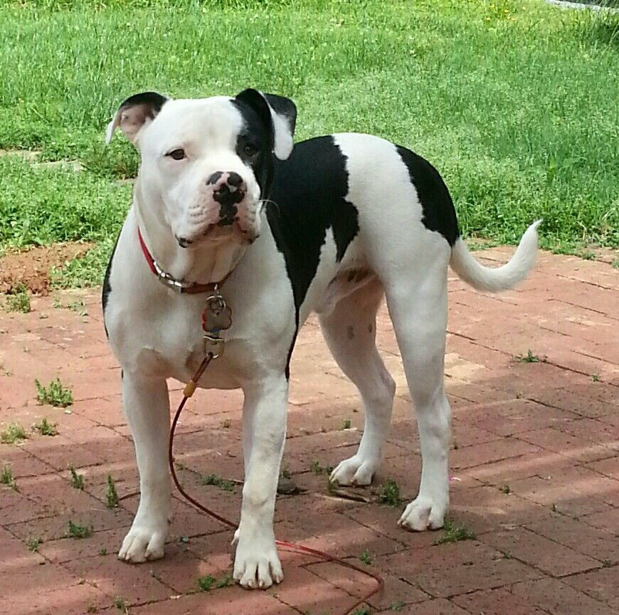 My 8mo American Bulldog Full Nelson Johnson X Scott American