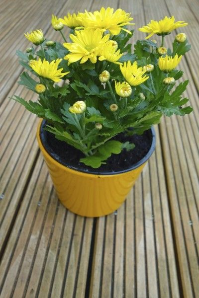 Mum Plant Repotting: Can You Repot A Chrysanthemum | New