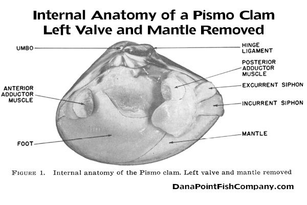 Internal Anatomy Of A Pismo Clam Left Valve And Mantle Removed