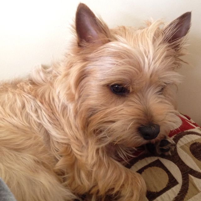 It S Otto S Twin Out There In The World Norfolk Terrier