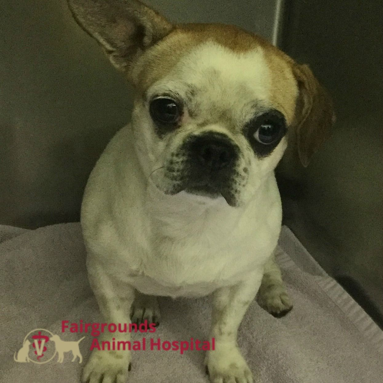 Mocha Was Seen At Fairgroundsanimalhospital For A Hernia Repair