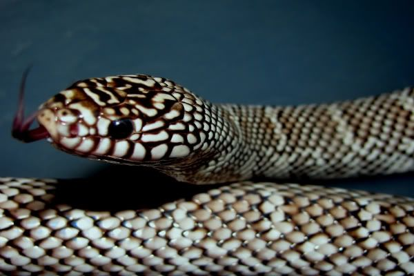 axanthix brooks milk snake - Bing Images