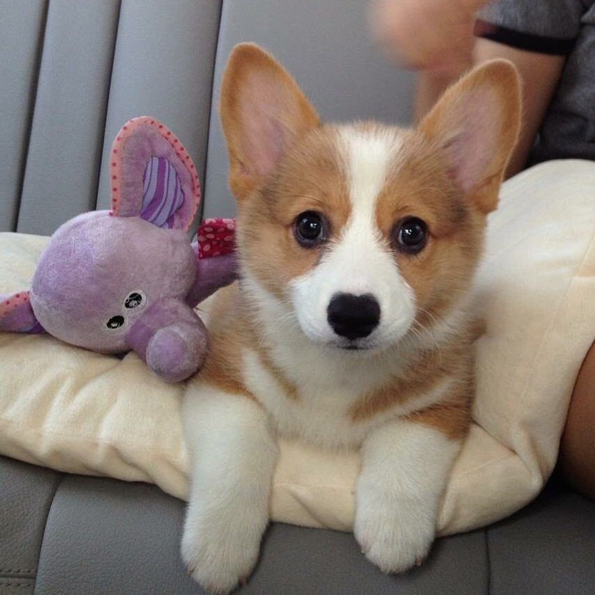 When I Was Young Corgicoco Corgi Corgi Beagle Puppy Corgi Dog
