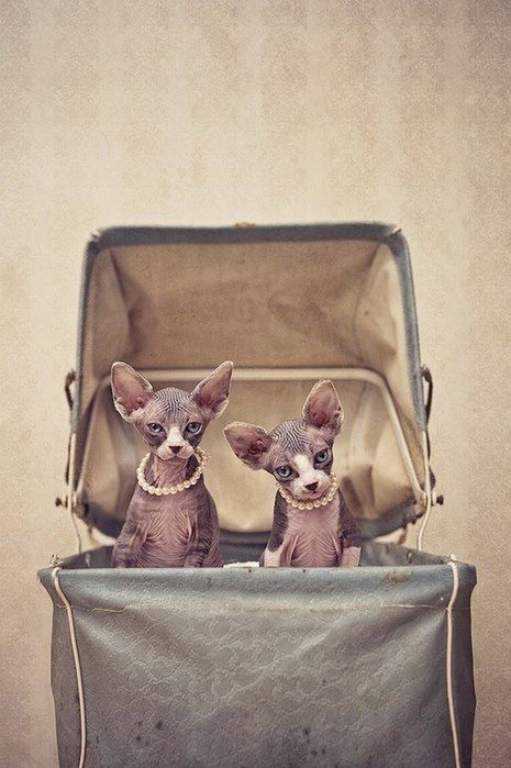 Two Sphynx