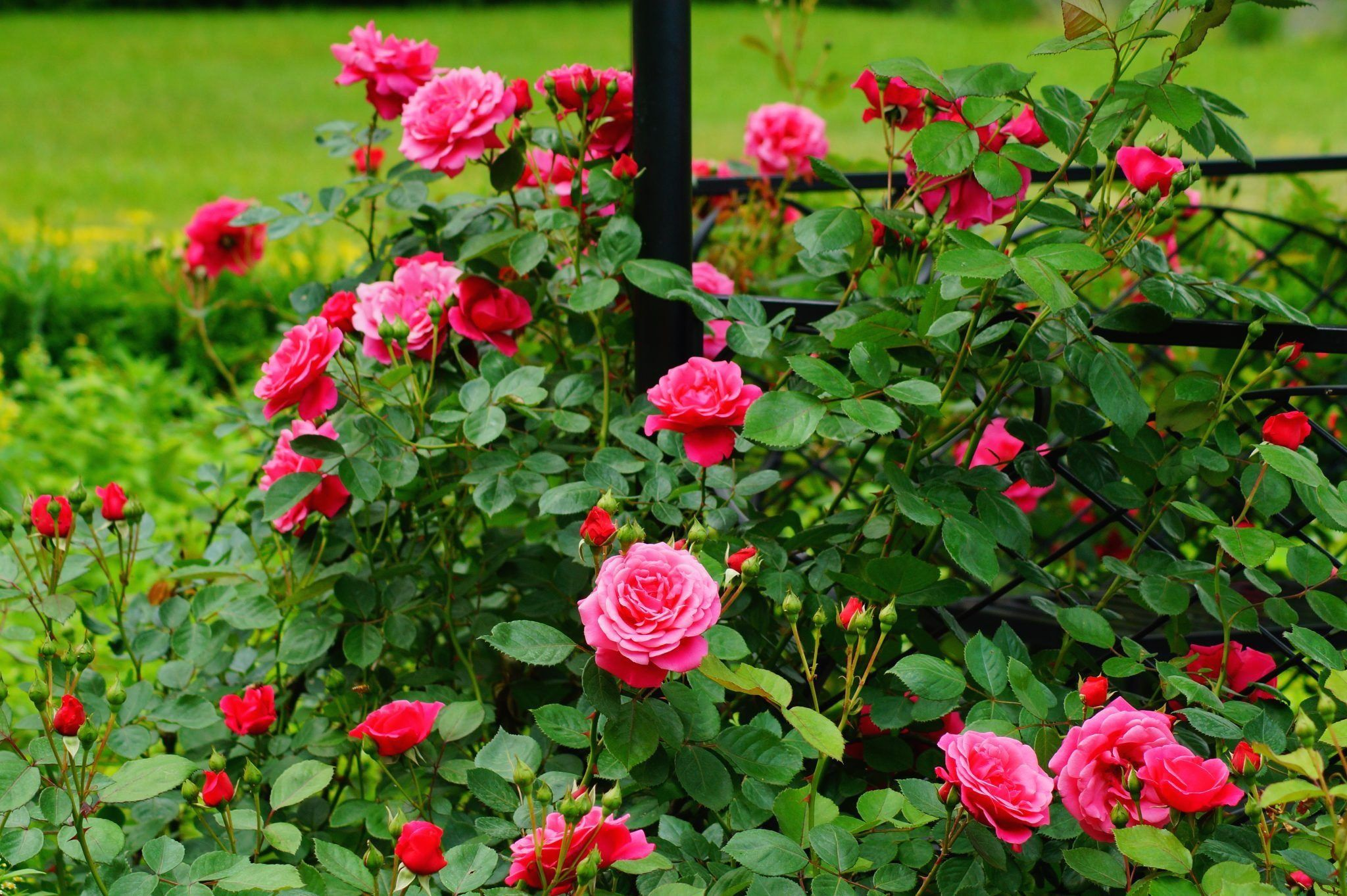 Pruning Roses Promotes Vigorous Growth The Cullman Tribune 1000 Hybrid Tea Roses Pruning Roses Planting Roses