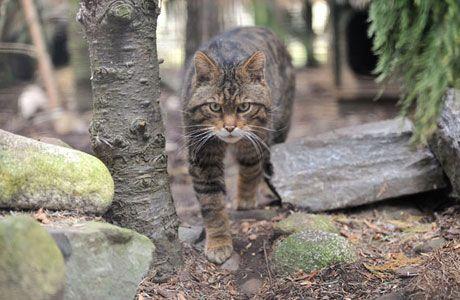 scottish wildcat  highland wildlife park  wildlife park