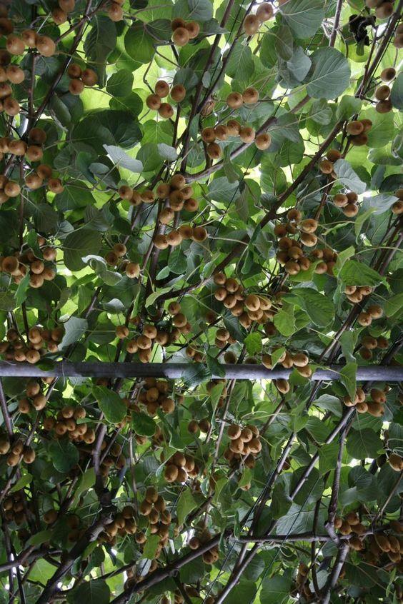 so schneiden sie kiwi richtig g rten pflanzen und baum. Black Bedroom Furniture Sets. Home Design Ideas