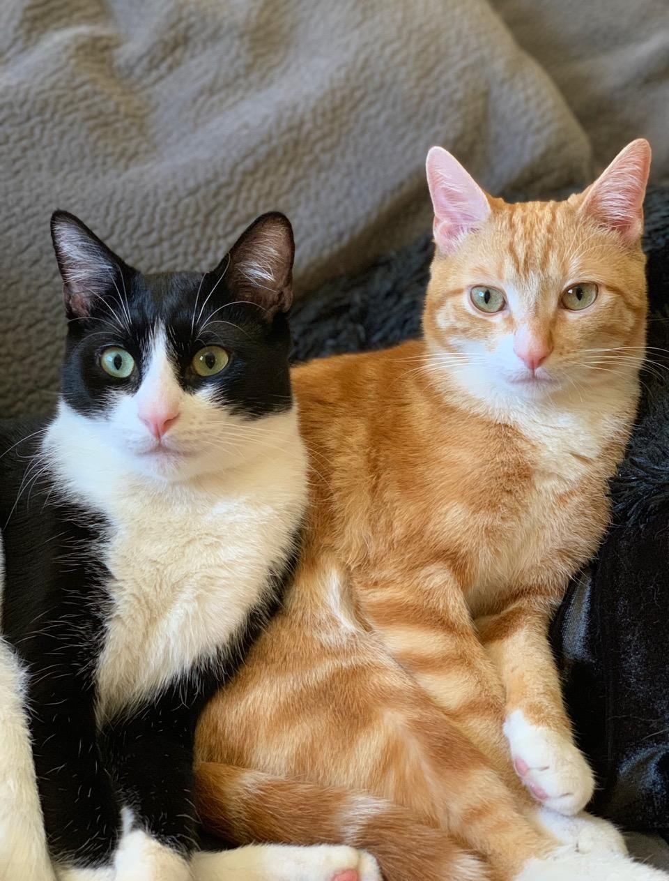 Adopt Ginger & Tux on Short hair cats, Pet adoption, Pets