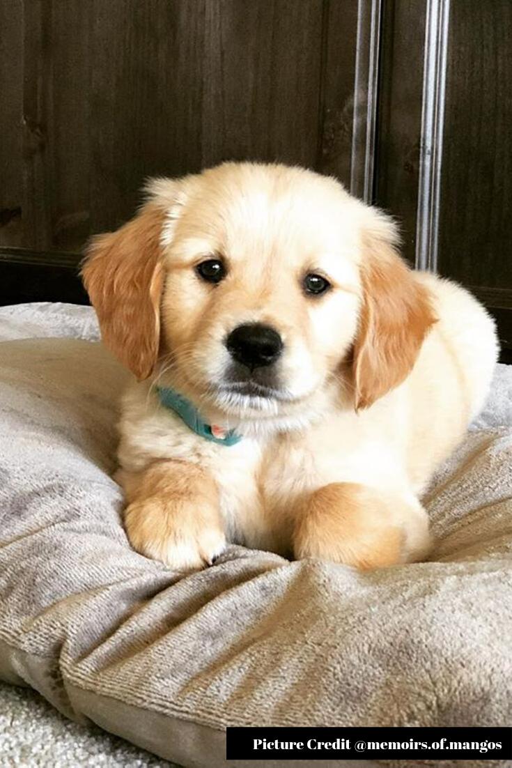 25 Most Cutest Labrador Retriever Labrador Retriever Retriever White Golden Retriever Puppy