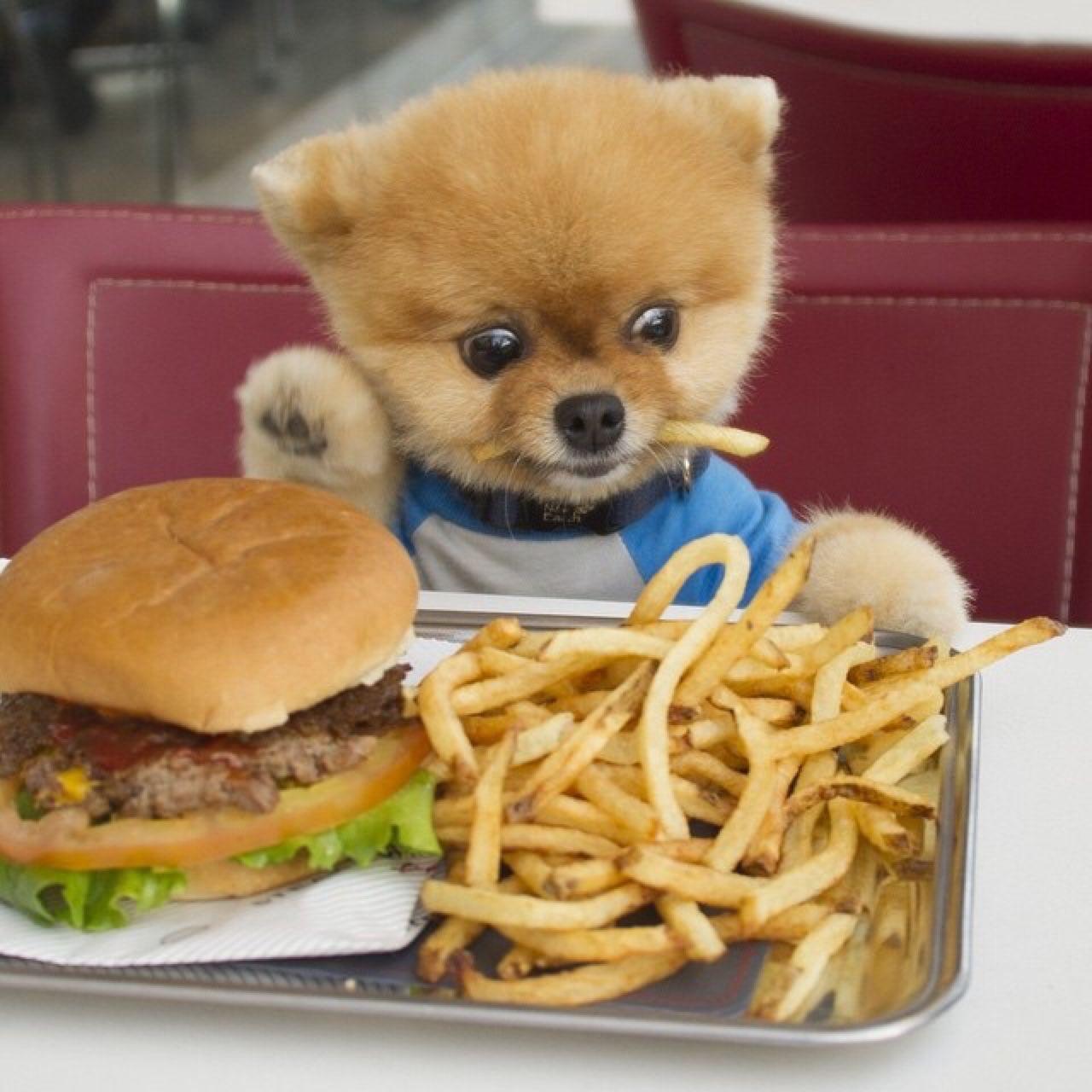 It's burger day for Jiff the Pomeranian. - 귀여운 아기 동물, 애완동물 제품, 귀여운 강아지 - 웹