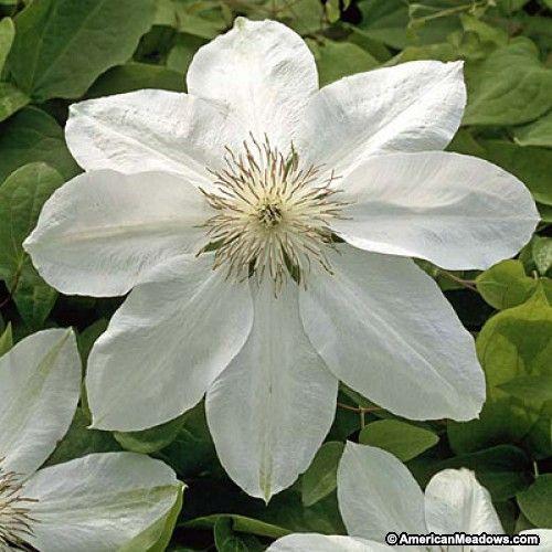 White clematis henryi clematis vine plants pinterest clematis white clematis henryi clematis vine mightylinksfo