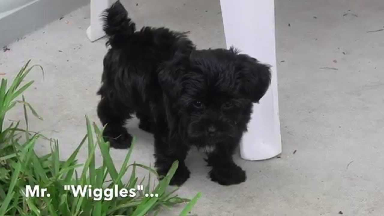 Mr Wiggles The Yorkie Poo For Sale In Ocala Florida Michelines Pups Yorkie Poo Yorkie Poo For Sale Yorkie
