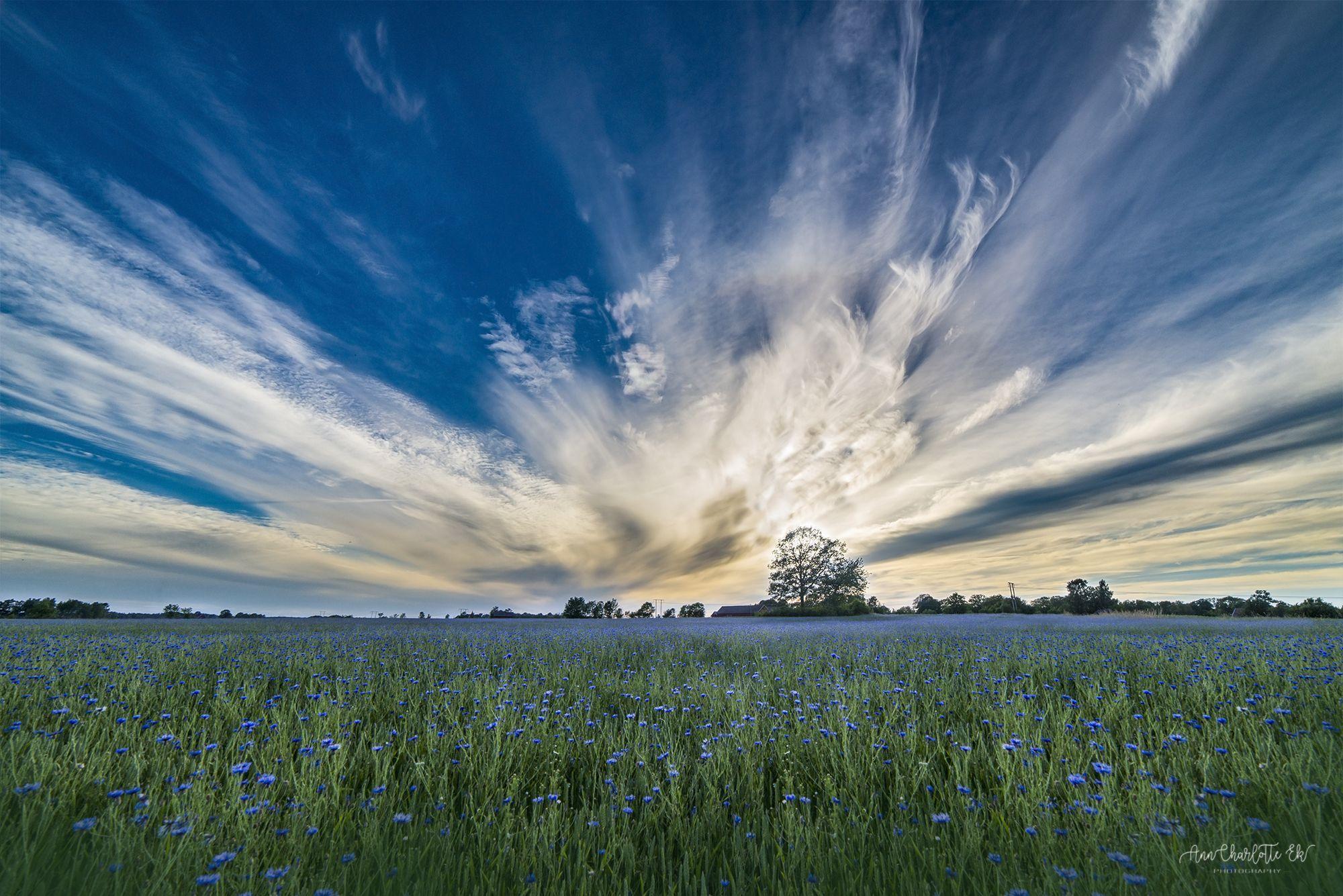Flower Field By Lotta Ek Flower Field Grassland Meadow Nature grass field sky clouds horizon