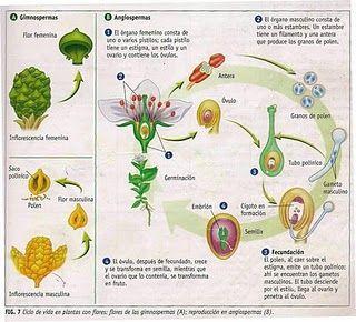 Reproduccion sexual de las plantas esquema