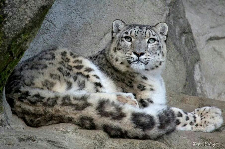 Léopard des neiges                                                                                                                                                      Plus