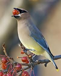 birds berries - Google Search