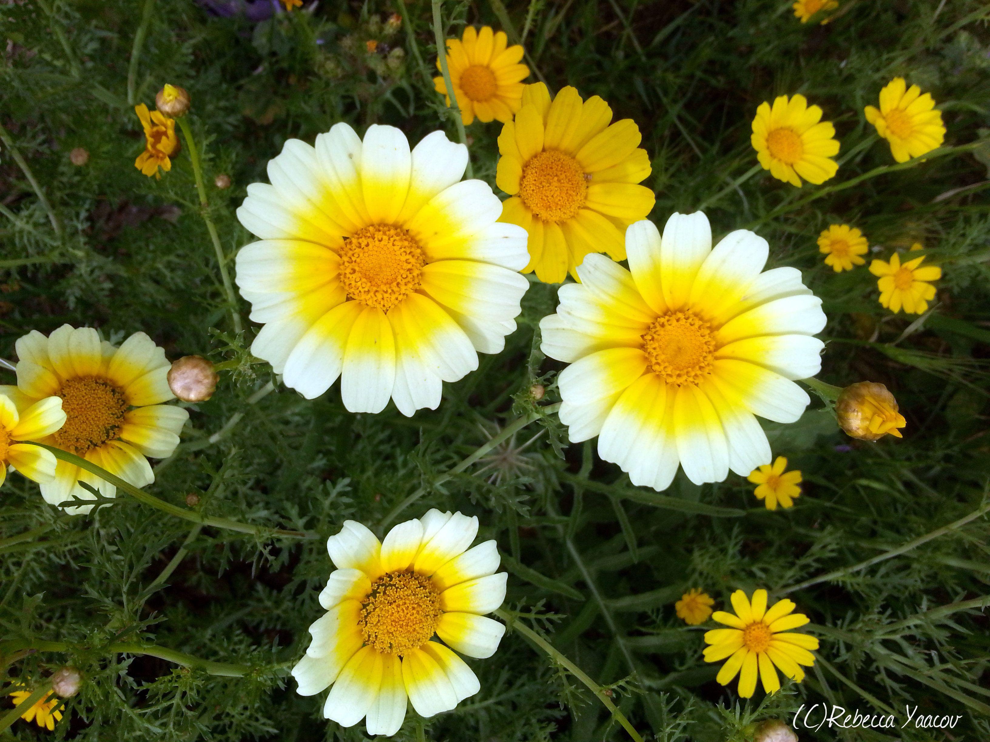 Wild daisy love daisy love pinterest wild daisy love izmirmasajfo