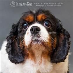 Ruby Is An Adoptable Cavalier King Charles Spaniel Dog In Sheboygan Wi Primary Color Tr Cavalier King Charles Cavalier King Charles Spaniel Charles Spaniel