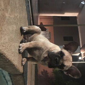 French Bulldog Puppy For Sale In Chandler Az Adn 43652 On