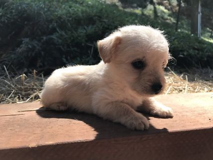 Chihuahua X Toy Poodle Pups Dogs Puppies Gumtree Australia