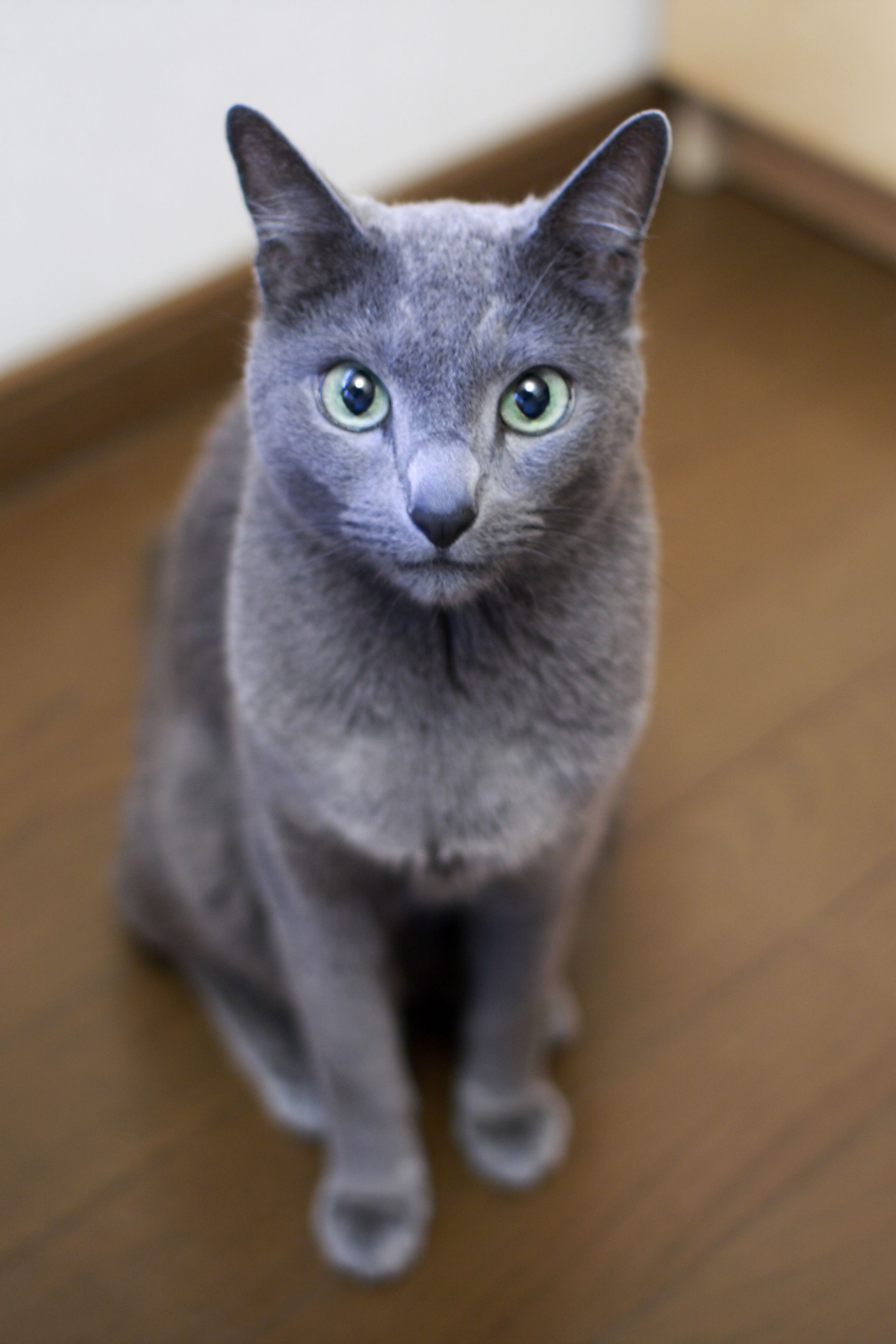 Pin by Ros Hassall on Russian Blue Beauty=^ ^=   Pinterest