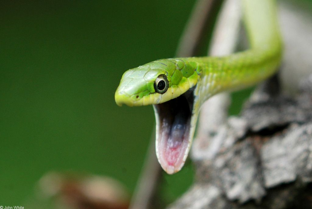 Rough Green Snake Green Snake Pretty Snakes Snake