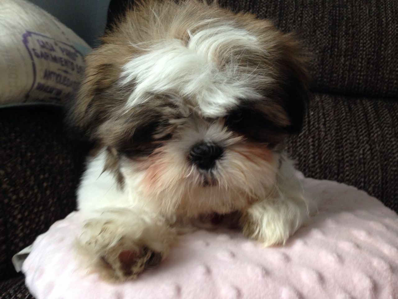 What Does A 4 Month Old Shih Tzu Look Like Shih Tzu